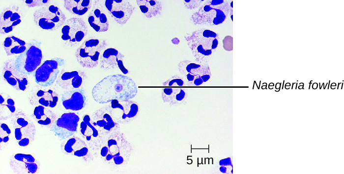 Micrograph of white blood cells and a large cell with a small round body in the centre labeled N. fowlerii.