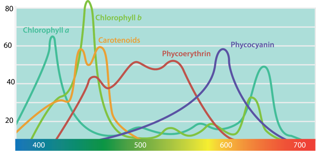 Figure showing the light absorption spectra of the different photopigments. Absorption spectra show the amount of light absorbed (y-axis) as a function of wavelength (x-axis).