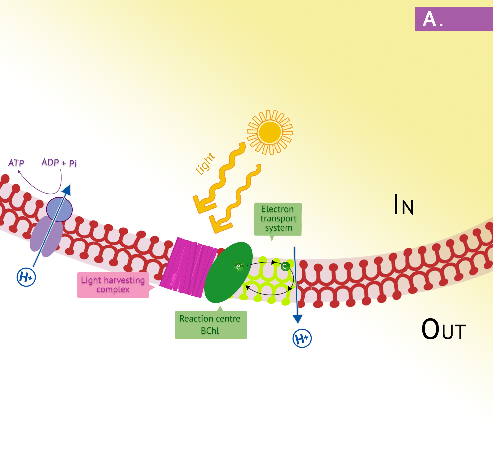 Panel a depicts the purple electron transport chain. Light hits the light-harvesting complex in the plasma membrane, leading to photoionization. Electrons cycle through the chains then back to the reaction centre bacteriochlorophyll, generating PMF.