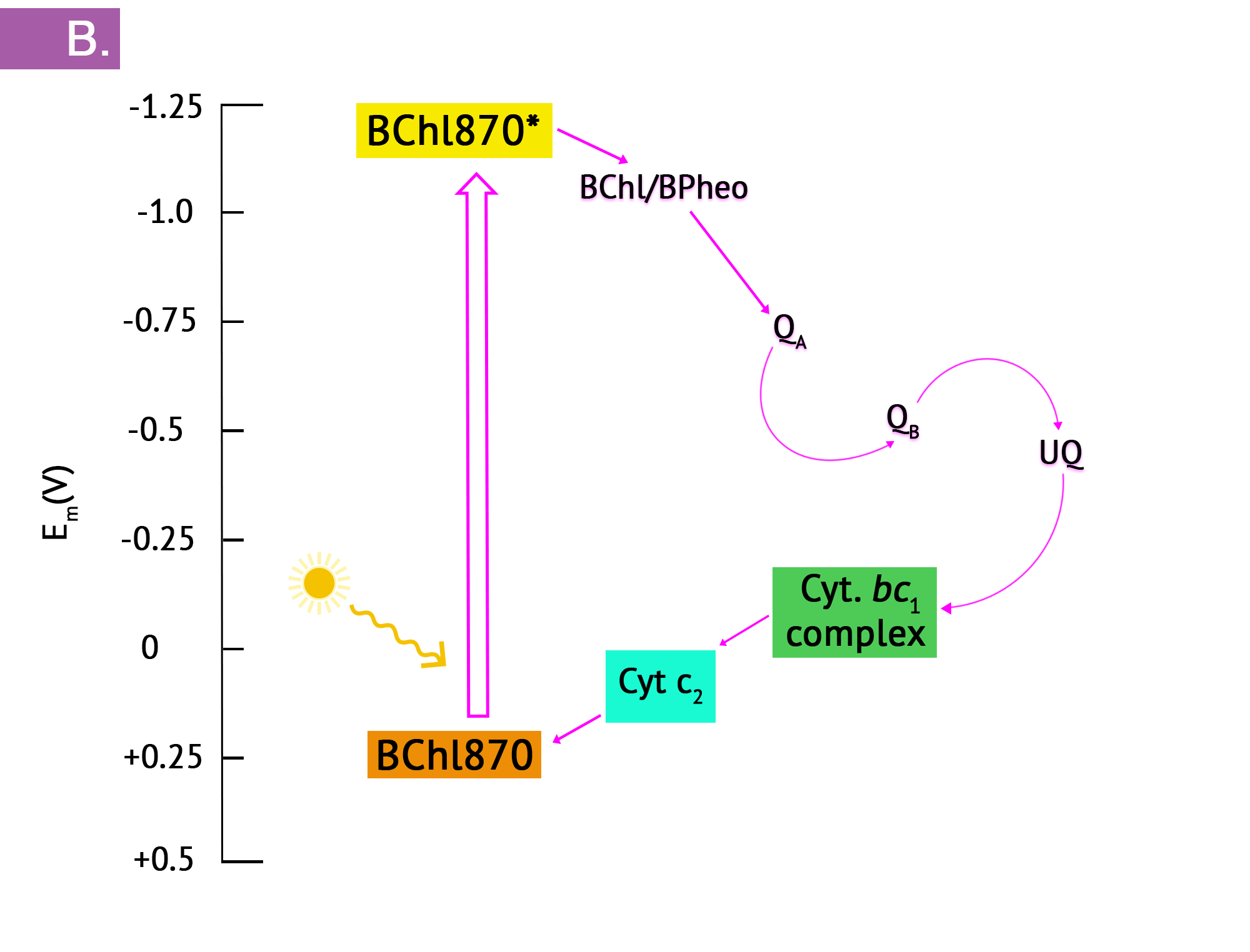 Panel B shows the sequence of changes in redox potential, beginning with photoexcitation of the reaction centre bacteriochlorophyll, leading to a strong reduction potential. Electrons enter the ETS, flowing in an exergonic direction until they cycle back to the reaction centre in cyclic photosynthesis.