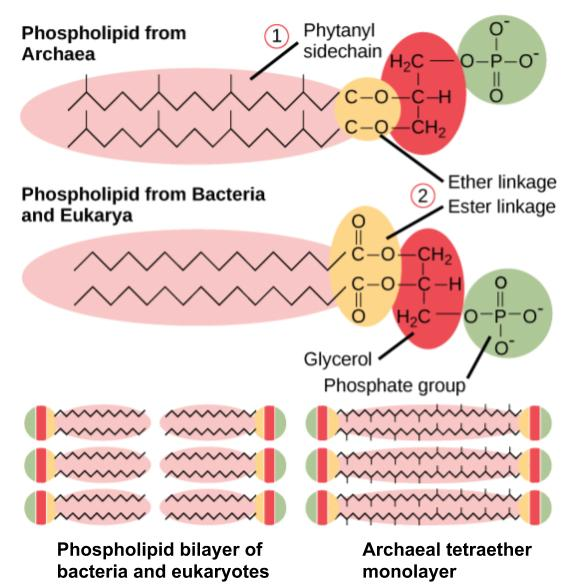 A figure comparing the ether linkage and ester linkages of bacterial and archaea phospholipids, and comparing bilayer membrane structure with monolayer membrane structure.