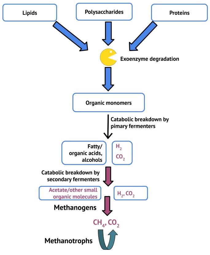 Depiction of the degradation of organic carbon under anaerobic conditions.
