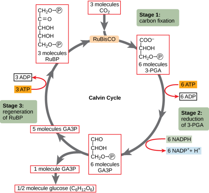 Figure depicting the three stages of the Calvin cycle, beginning with carbon dioxide. With each cycle, a single carbon dioxide molecule is converted to glyceraldehyde-3-phosphate, an intermediate in the gluconeogenic pathway.