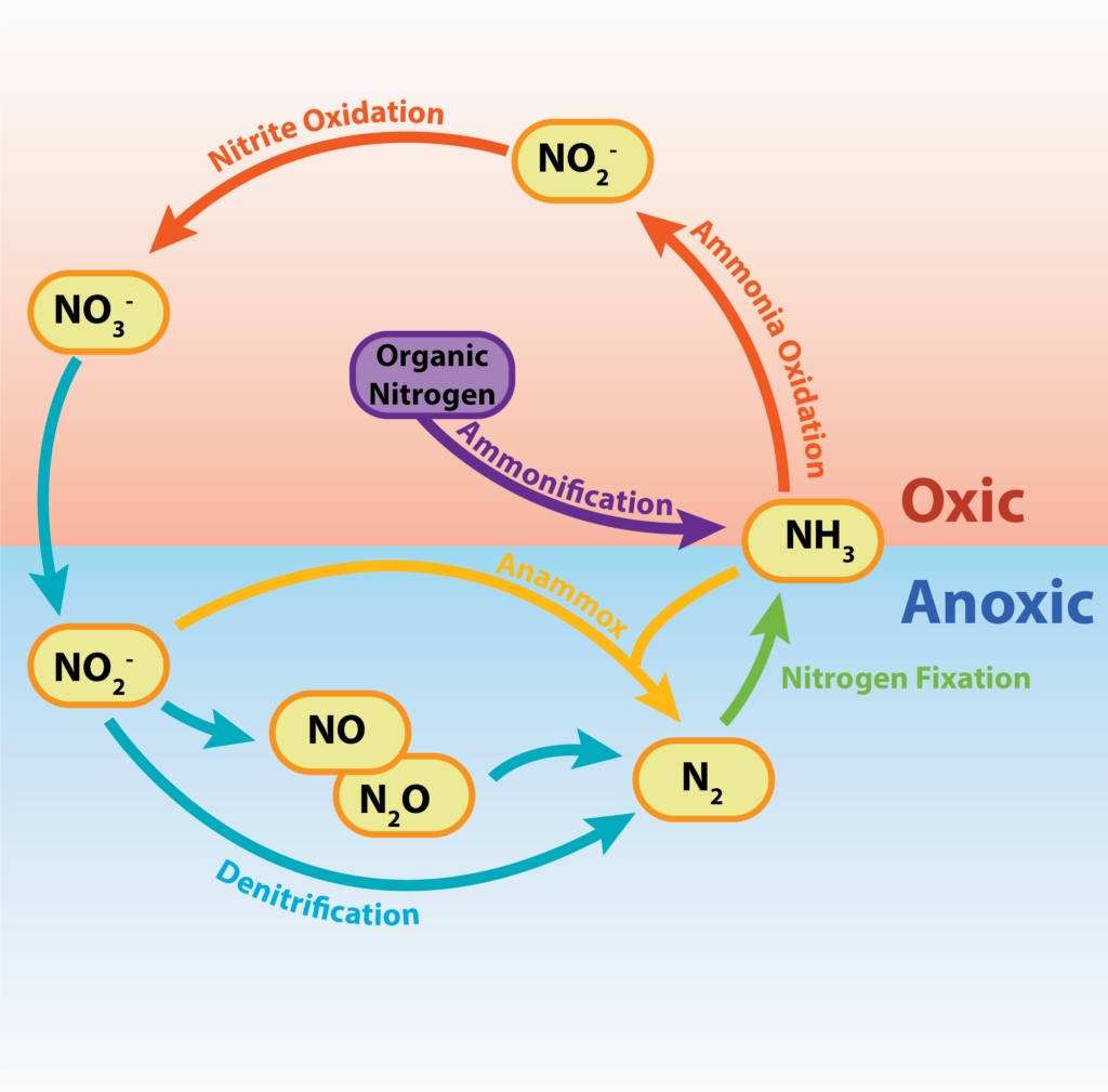 A figure that shows how nitrogen is cycled between various inorganic forms and organic N-containing compounds.