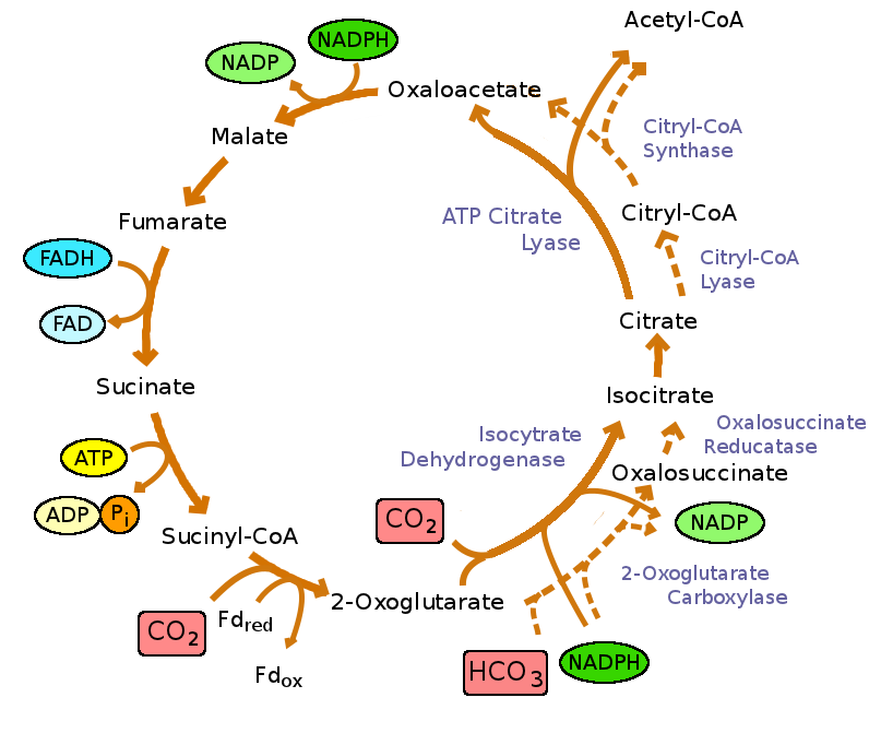 An overview of the reverse TCA cycle