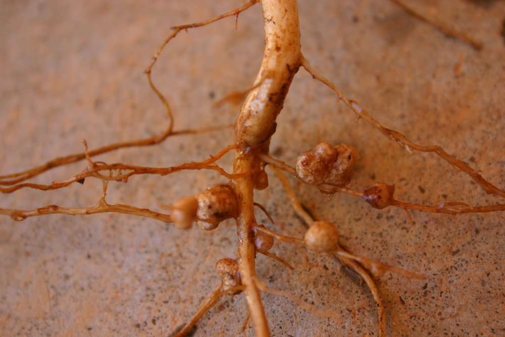 A figure showing small nodules on the roots of a legume.