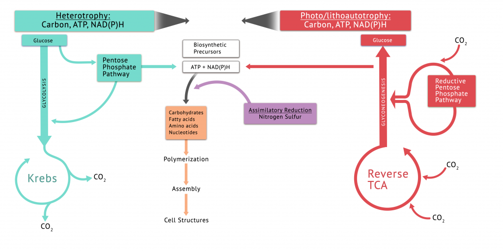 This figure provides a summary of the biosynthesis of precursor metabolites in autotrophs and heterotrophs. Included are the central pathways, and assimilatory reduction of N and S.
