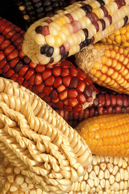 Photograph of different cobs of corn, with different coloured kernels