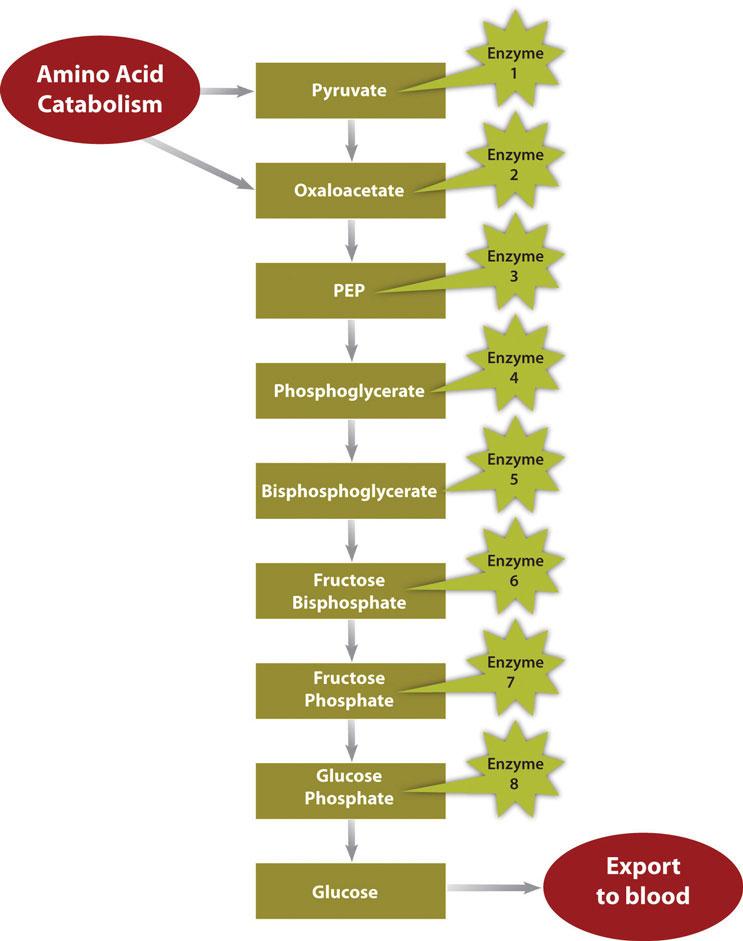 Metabolic Pathway of Gluconeogenesis