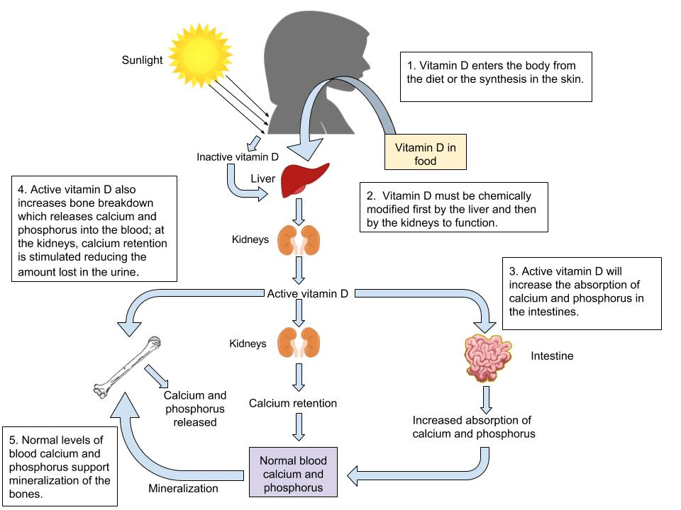 Functions of Vitamin D in the body