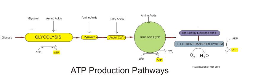 ATP production pathways