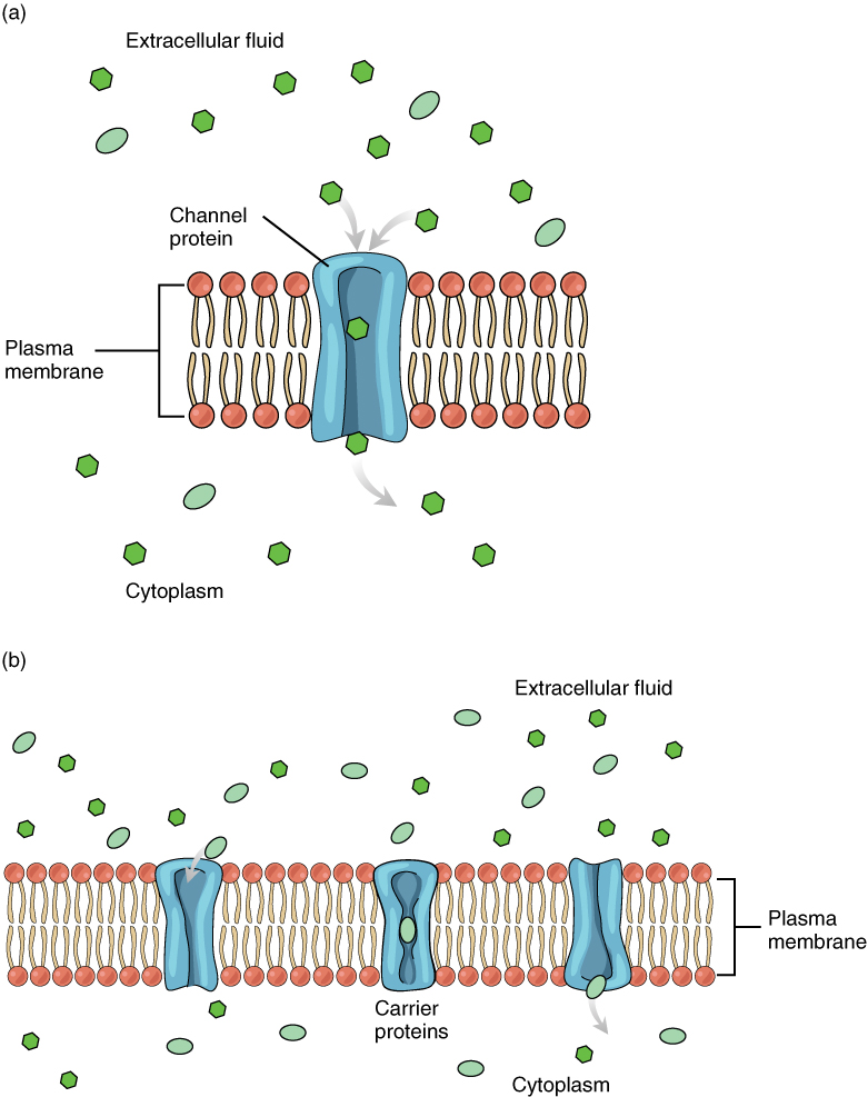 This diagram shows the different means of facilitated diffusion across the plasma membrane. In the top panel, a channel protein is shown to allow the transport of solutes across the membrane. In the bottom panel, the membrane contains carrier proteins in addition to channel proteins.