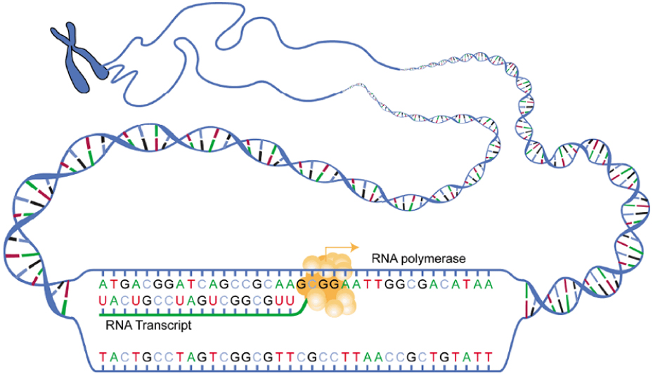 In this diagram, RNA polymerase is shown transcribing a DNA template strand into its corresponding RNA transcript.