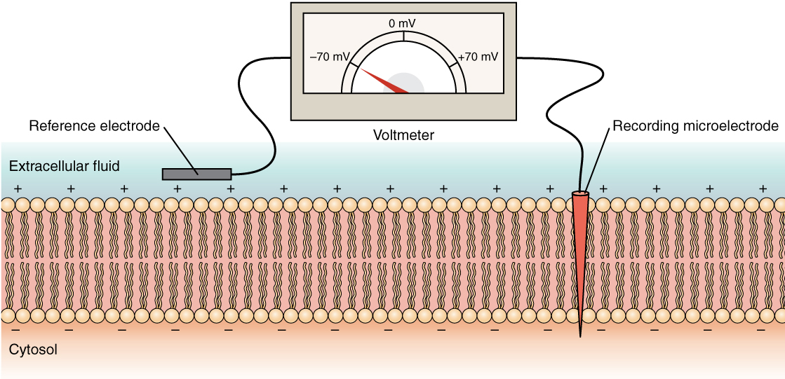 This diagram shows a cross section of a cell membrane. The extracellular fluid side of the cell membrane is positively charged while the cytosol side of the membrane is negatively charged. There is a microelectrode embedded in the cell membrane. The microelectrode is attached to a voltmeter, which also has a reference electrode on the extracellular fluid side. The readout of the voltmeter is negative 70 millivolts.