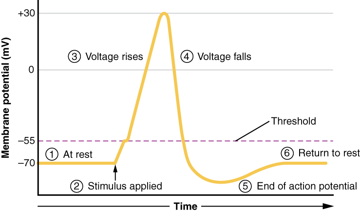 This graph has membrane potential, in millivolts, on the X axis, ranging from negative 70 to positive thirty. Time is on the X axis. In step one, which is labeled at rest, the plot line is steady at negative seventy millivolts. In step 2, a stimulus is applied, causing the plot line to increase to positive 30 millivolts. The curve sharply increases at step three, labeled voltage rises. After peaking at positive thirty, the plot line then quickly drops back to negative 70. This is the fourth step, labeled voltage falls. The plot line continues to drop below negative 70 and this is step 5, labeled end of action potential. Finally, the plot line gradually increases back to negative seventy millivolts, which is step 6, labeled return to rest.