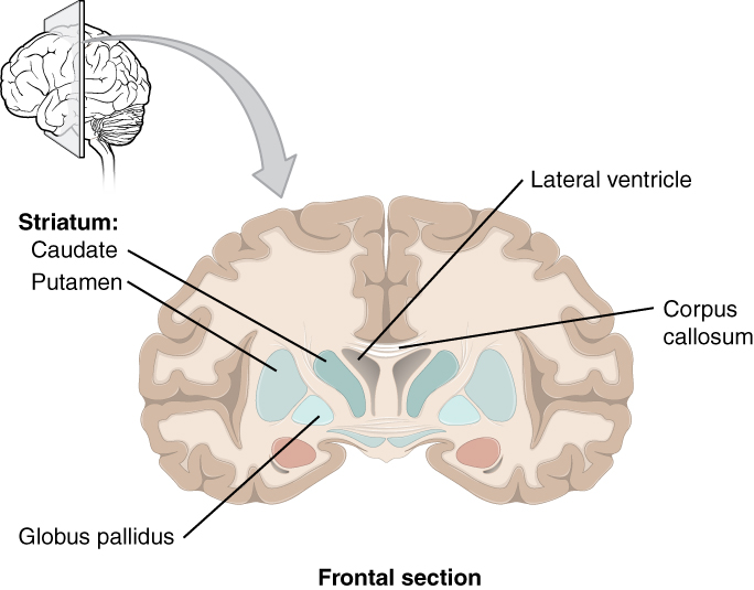 1 3 Anatomy of the Nervous System – Neuroscience: Canadian