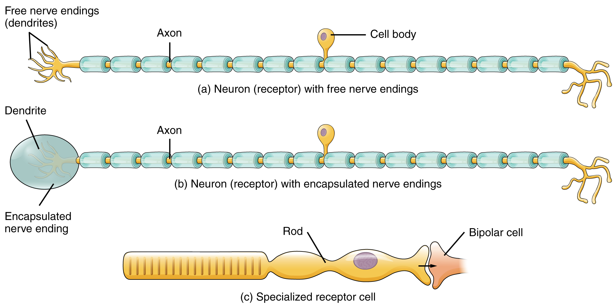 This figure shows the different types of receptors. The top panel shows a neuron receptor with free receptor endings, the middle panel shows a neuron receptor with encapsulated nerve endings, and the bottom panel shows a specialized receptor cell.