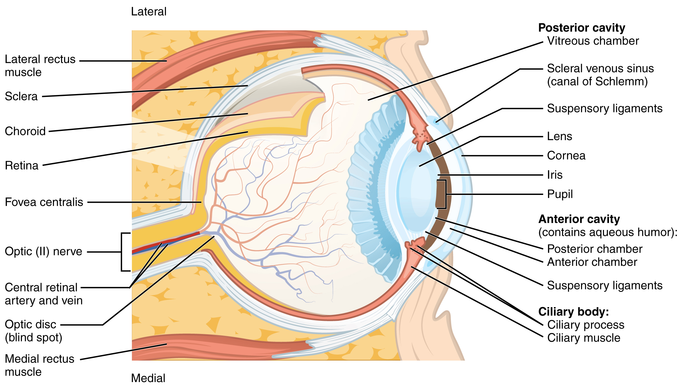 This diagram shows the structure of the eye with the major parts labeled.