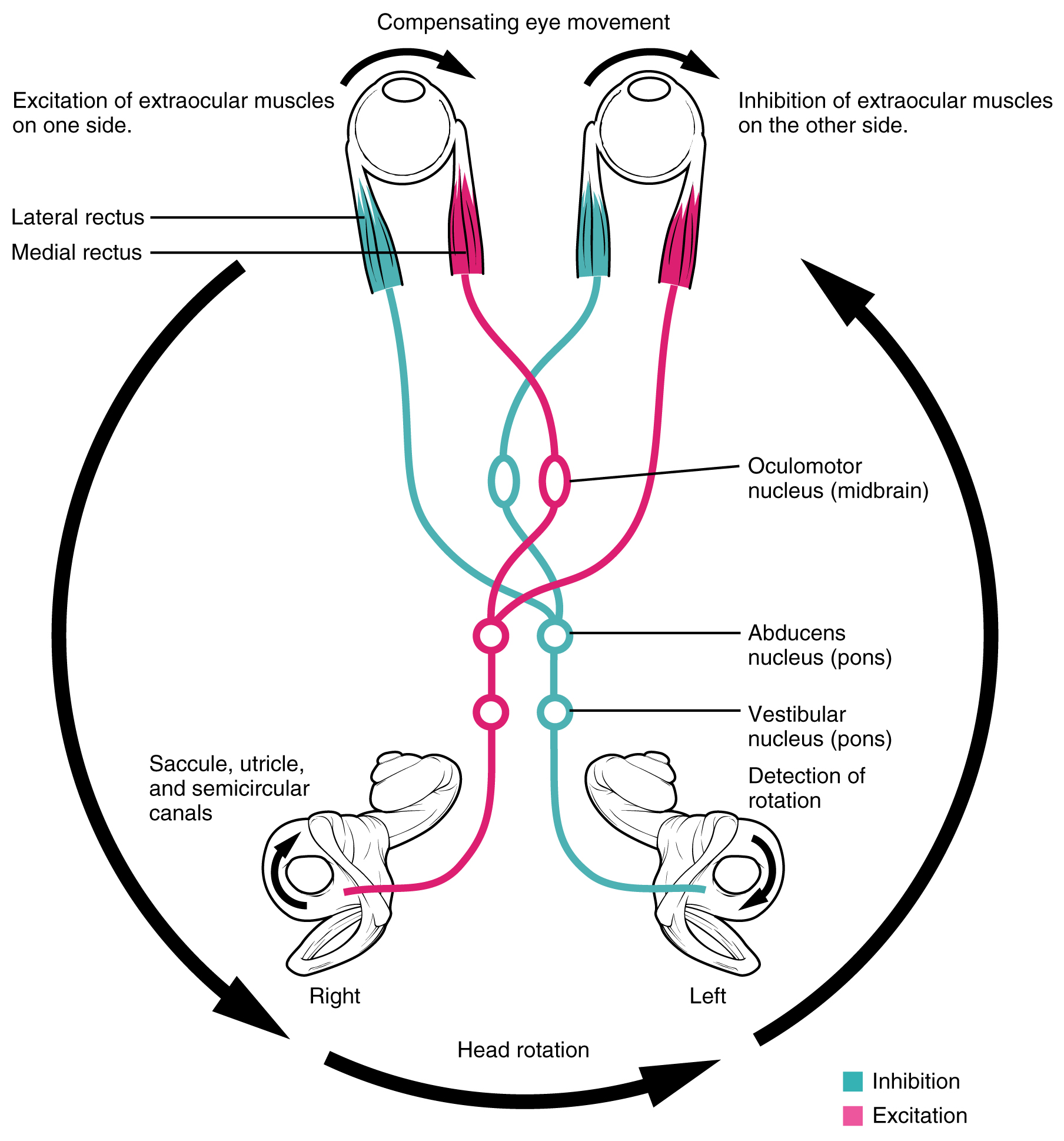 This image shows how the excitation of eye muscles on one side, the inhibition of these muscles on the other side, and the compensating eye movements work together in vestibular ocular reflex.