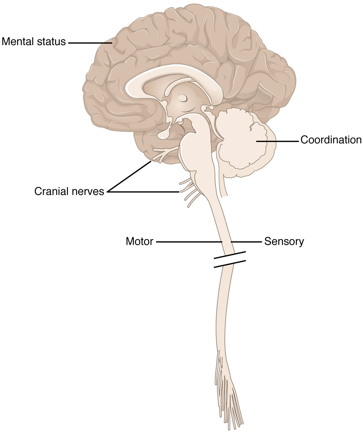 This figure shows a picture of the brain connected to the spinal cord.