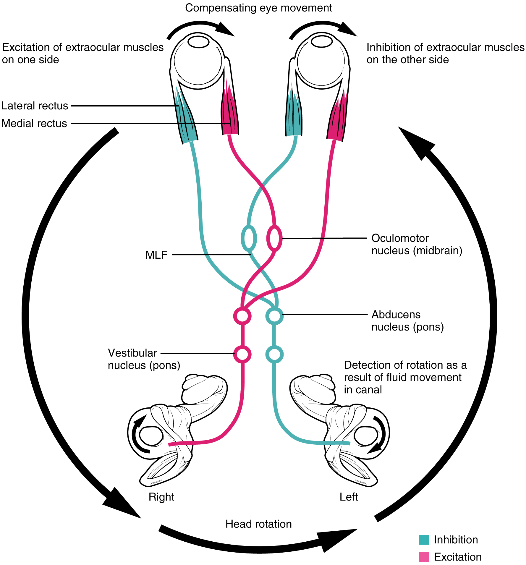 This diagram shows the compensating movement of the eyes in response to head rotation.