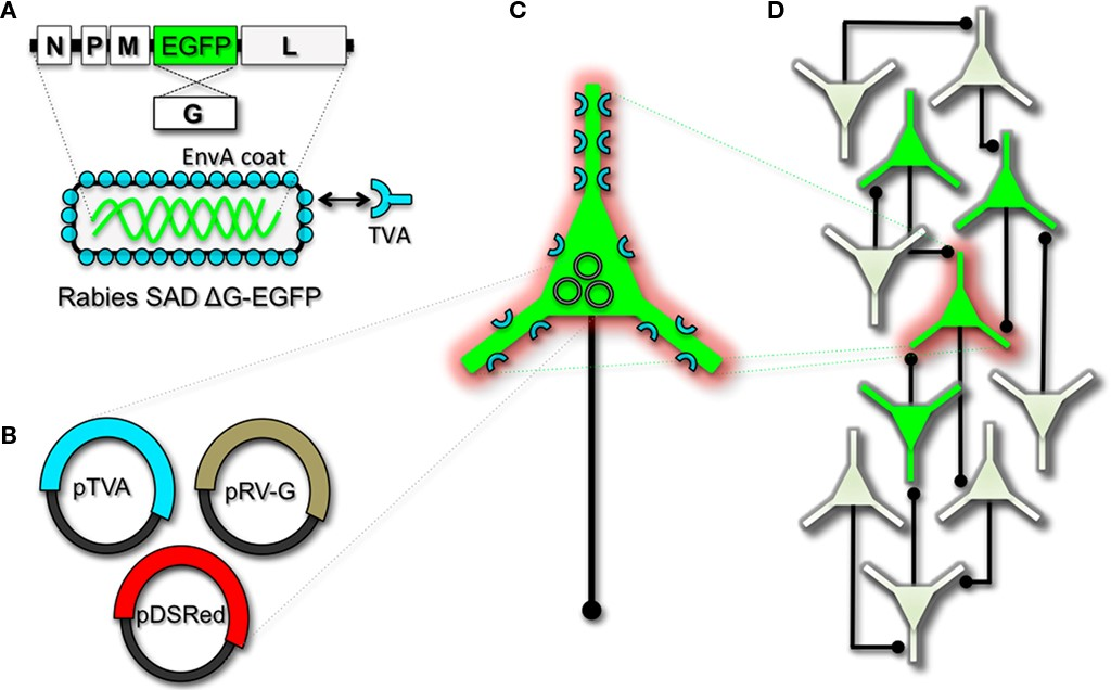 "Engineering and pseudotyping rabies virus (RV) for transneuronal tracing. (A) RV can be genetically engineered to express EGFP by replacing the genomic sequence encoding the G coat protein. The genetically modified G-deletion mutant RV must be propagated in vitro to supply a coat protein. The particle can thus be pseudotyped by providing a foreign coat protein such as EnvA, which originates from the avian leukosis virus and binds specifically to it its cognate receptor TVA. EnvA pseudotyped RV can be used to selectively infect neurons that have been genetically targeted for TVA expression. By including additional constructs that encode the wildtype G-capsid protein and a red-colored ""cell fill"" (B), the modified RV can be genetically targeted to individual neurons for restricted circuit mapping and monosynaptic tracing (C). Since no endogenous receptors exist in the mammalian brain for EnvA, only neurons that are programmed to express TVA are capable of being infected by the EnvA pseudotyped virions. Because the wildtype G-protein sequence has been deleted from the RV genome, G must be supplied by complementation to allow trans-synaptic spread from the neurons targeted for infection. (D) Viral spread ceases monosynaptically due to the absence of G in unmodified neuronal populations."