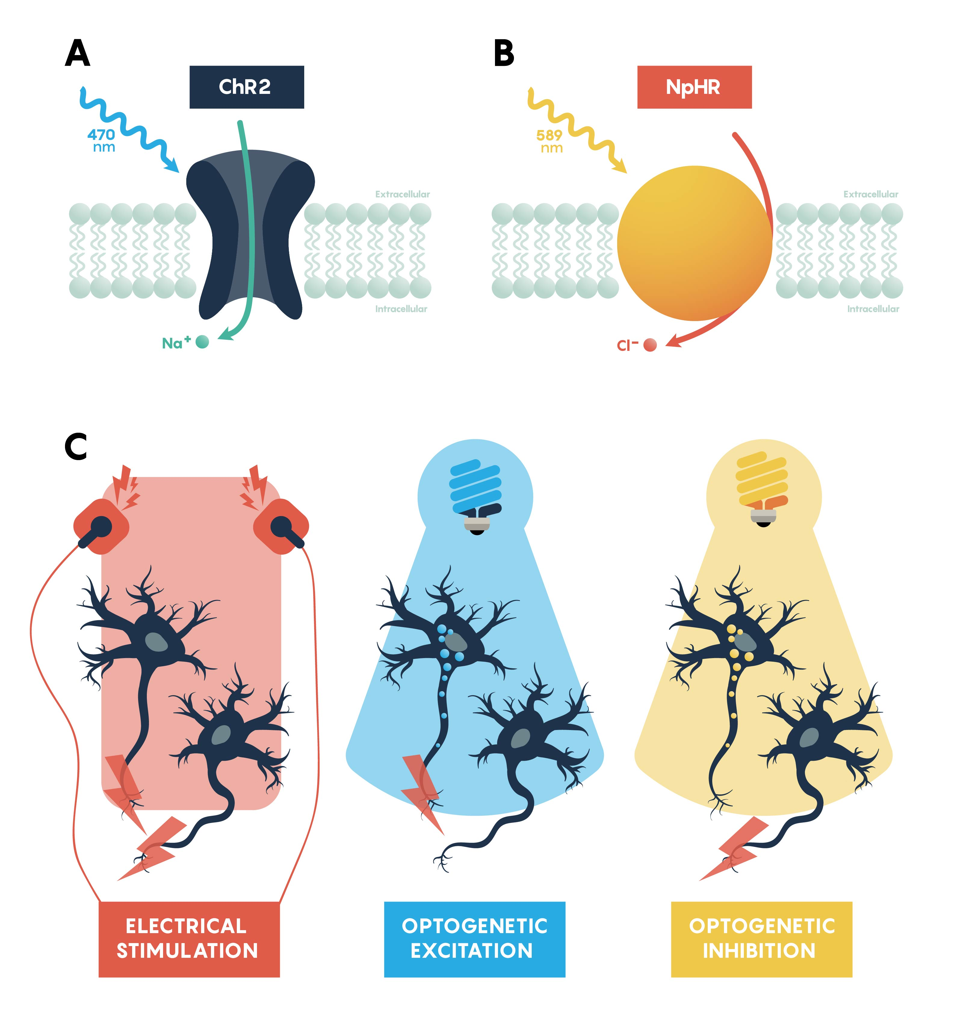 Panels summarizing the features of excitatory, ChR2, (A) and inhibitory, NpHR, (B) opsins. Panel C showing that all neurons would be excitable using a standard electrode. However, optogenetic excitation (blue light) and inhibition (yellow light) only work on specific neurons that express the appropriate opsin.