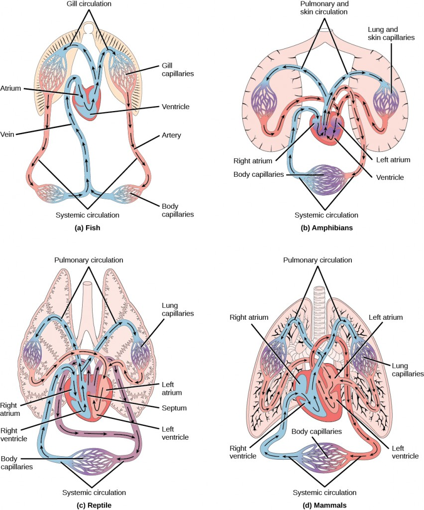 Image consists of four diagrams that show the various circulation methods of fish, amphibians, reptiles, and mammals & birds.