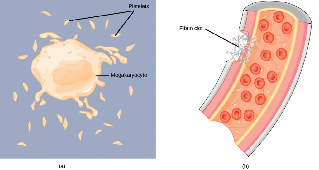 Image consists of two illustrations, the first of platelets fragmenting from megakaryocytes, the second of platelets clotting the blood by forming a lattice like structure.