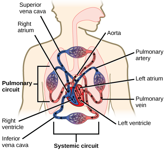 Diagram of the heart in relation to the human body, with the blood coloured red and/or blue to represent oxygenated vs non-oxygenated blood.