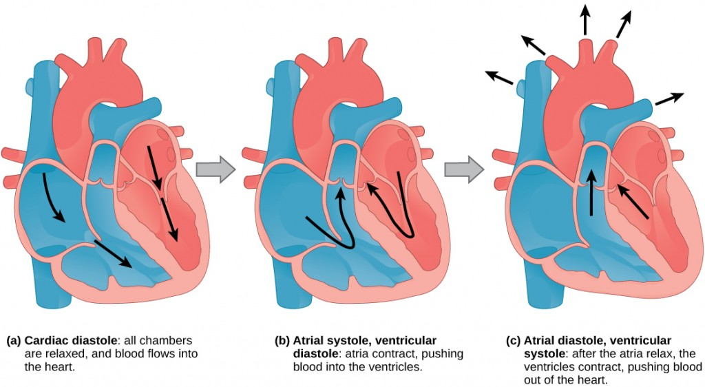 Image consists of three illustrations, each of the heart during different stages of pumping blood, with arrows to show the direction of the blood's movement.