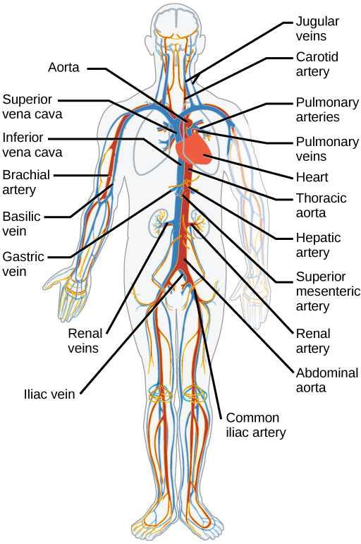 Diagram of the major arteries and veins of the human body. Arteries are coloured red to show oxygenated blood and veins are coloured blue to show de-oxygenated blood.