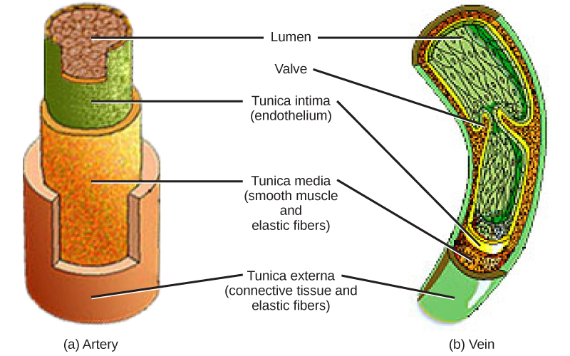 Diagrams of the artery and vein.