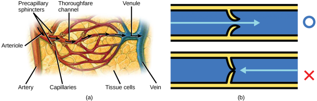 Image consists of two illustrations, the first is of the precapillary sphincters in relation to the artery, arterole, thouroughfare channel, capillaries (that connect to the tissue cells), and the venule & vein. The second is a pictographical representation of the valves in the veins.
