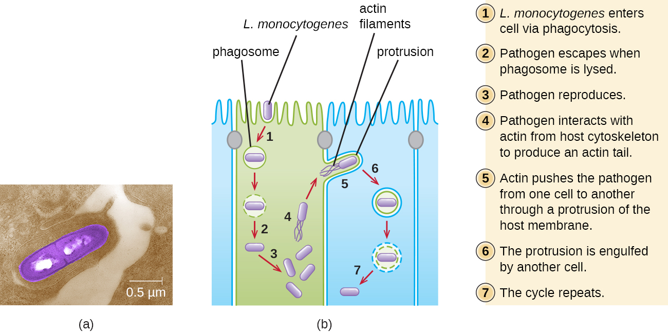 a) Micrograph of a rod shaped cell. b) Diagram of infection. Step 1: Listeria monocytogenes enters cell via phagocytosis. Diagram shows rod shaped cell (Listeria monocytogens) in a phagosome. 2: Pathogen escapes when phagosome is lysed. 3: Pathogen reproduces. 4: Pahtogen produces actin filaments from host cytoskeleton components. The diagram shows tails on the cell labeled actin filaments. 5: Actin pushes the pathogen from one cell to another through a protrusion of the host membrane. 6: The protrusion is engulfed by another cell. This forms a vesicle with the pathogen inside. 7: cycle repeats.