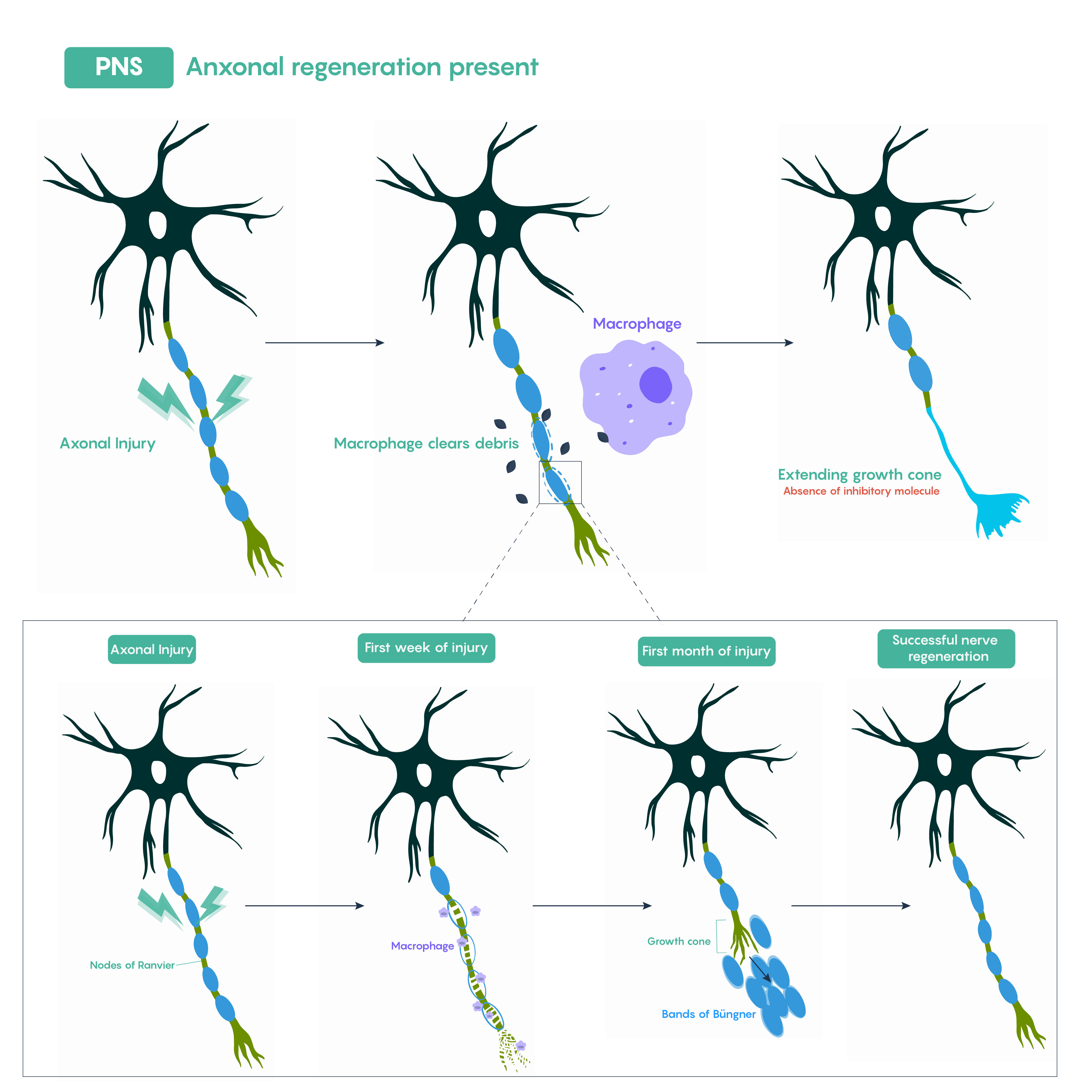 Image shows axonal regeneration in the PNS, with a closeup on the exact steps.