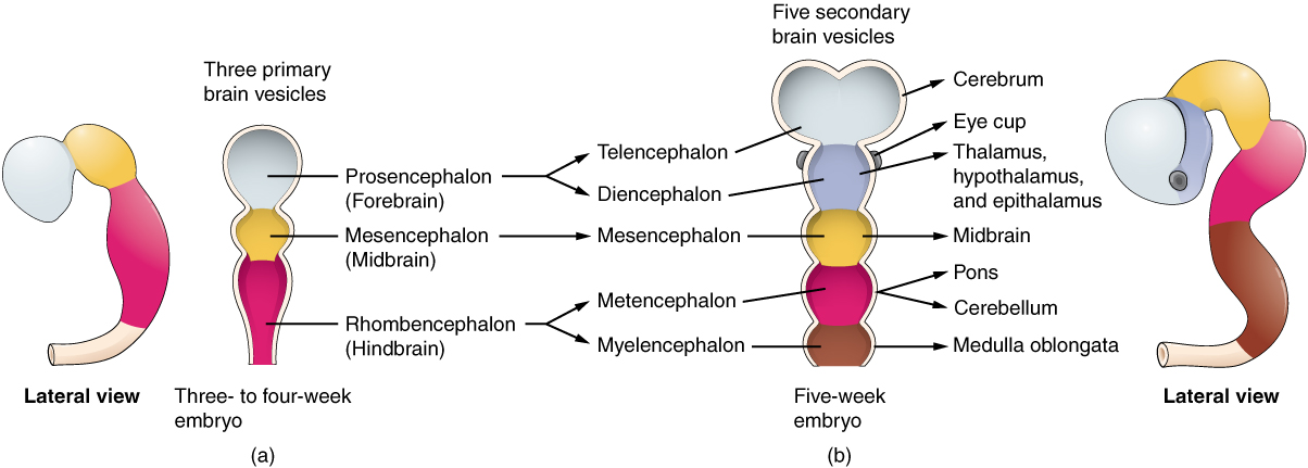 diagram of the primary and secondary vesicle stages of development
