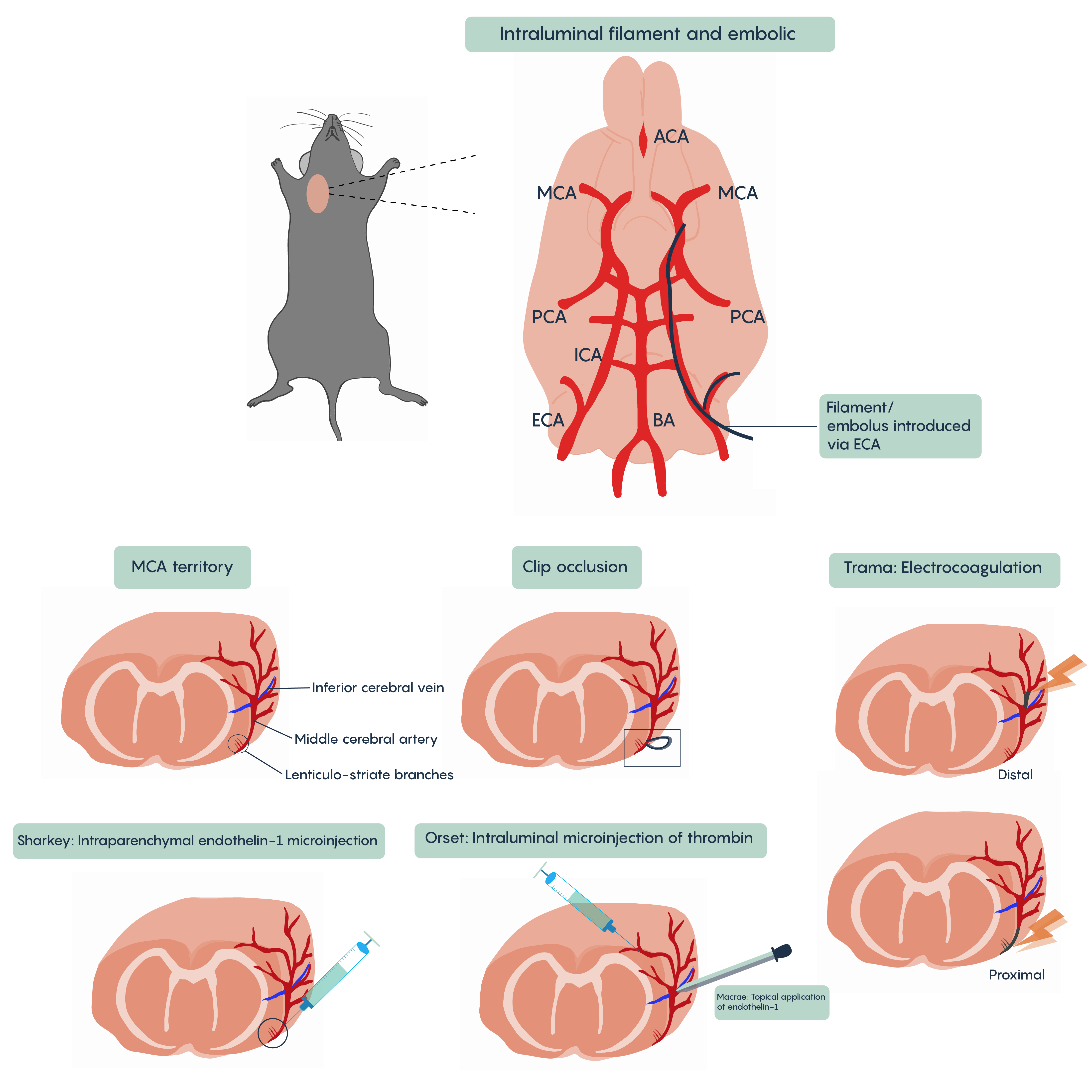 Various animal models of ischemia and stroke.