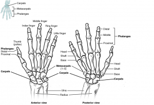 Bones of the hands with labels. Image description available.