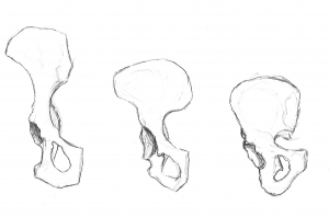 sketch of left innominates of chimp, australopith and human