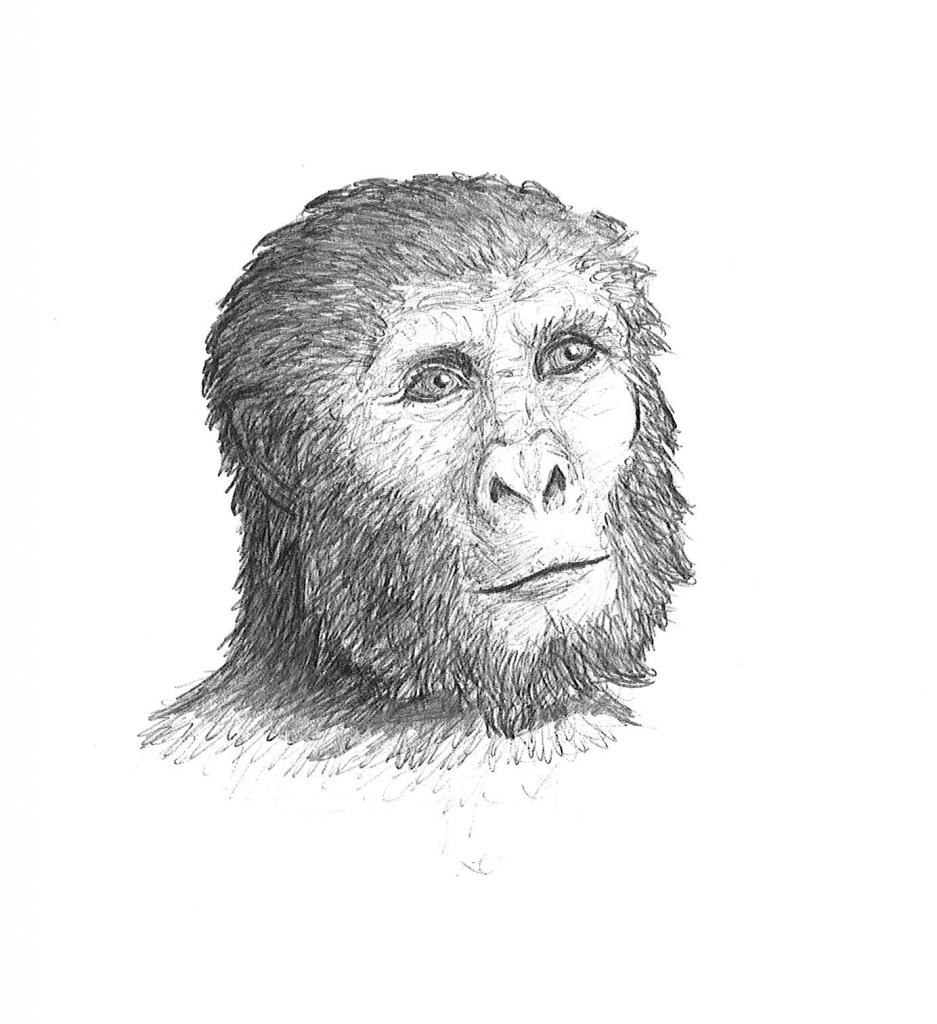 sketch of Paranthropus boisei