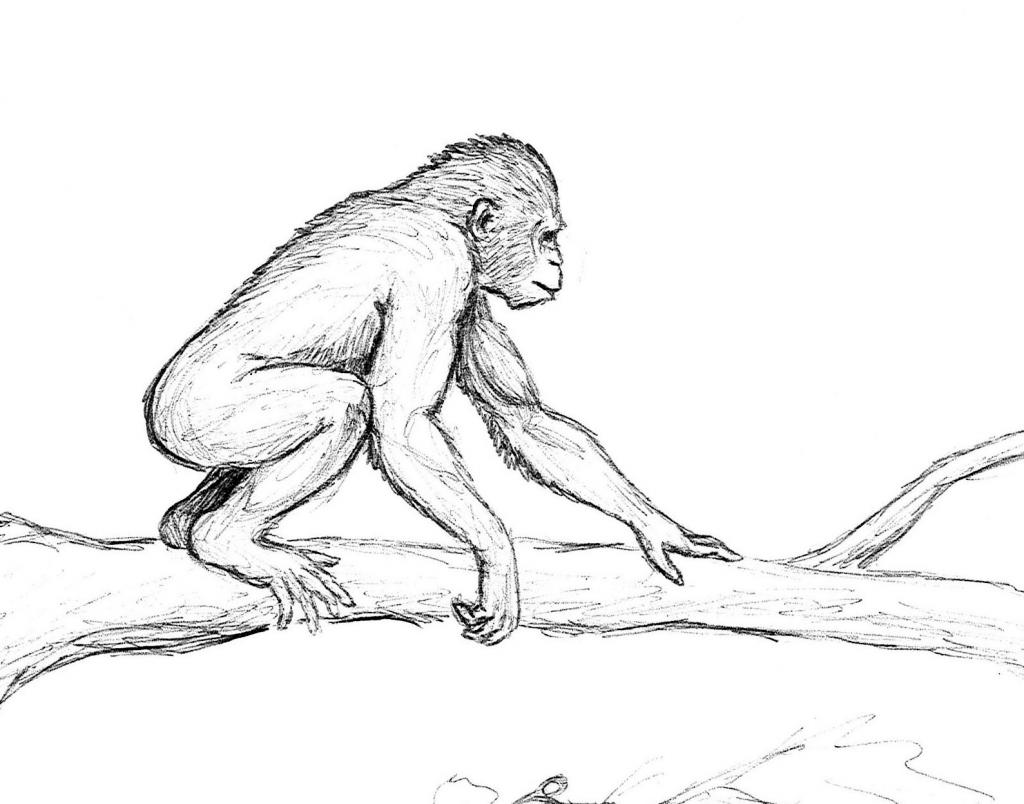 Sketch of Proconsul africanus
