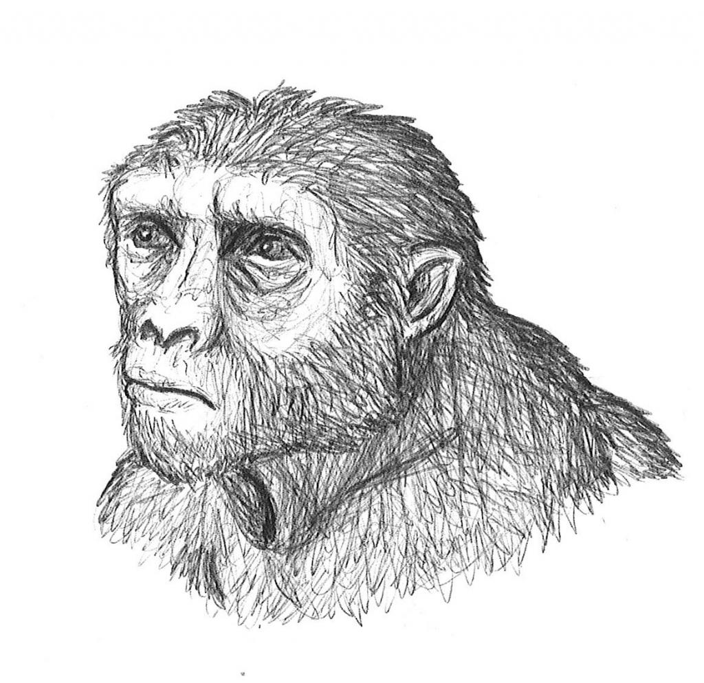sketch of Sahelanthropus tchadensis