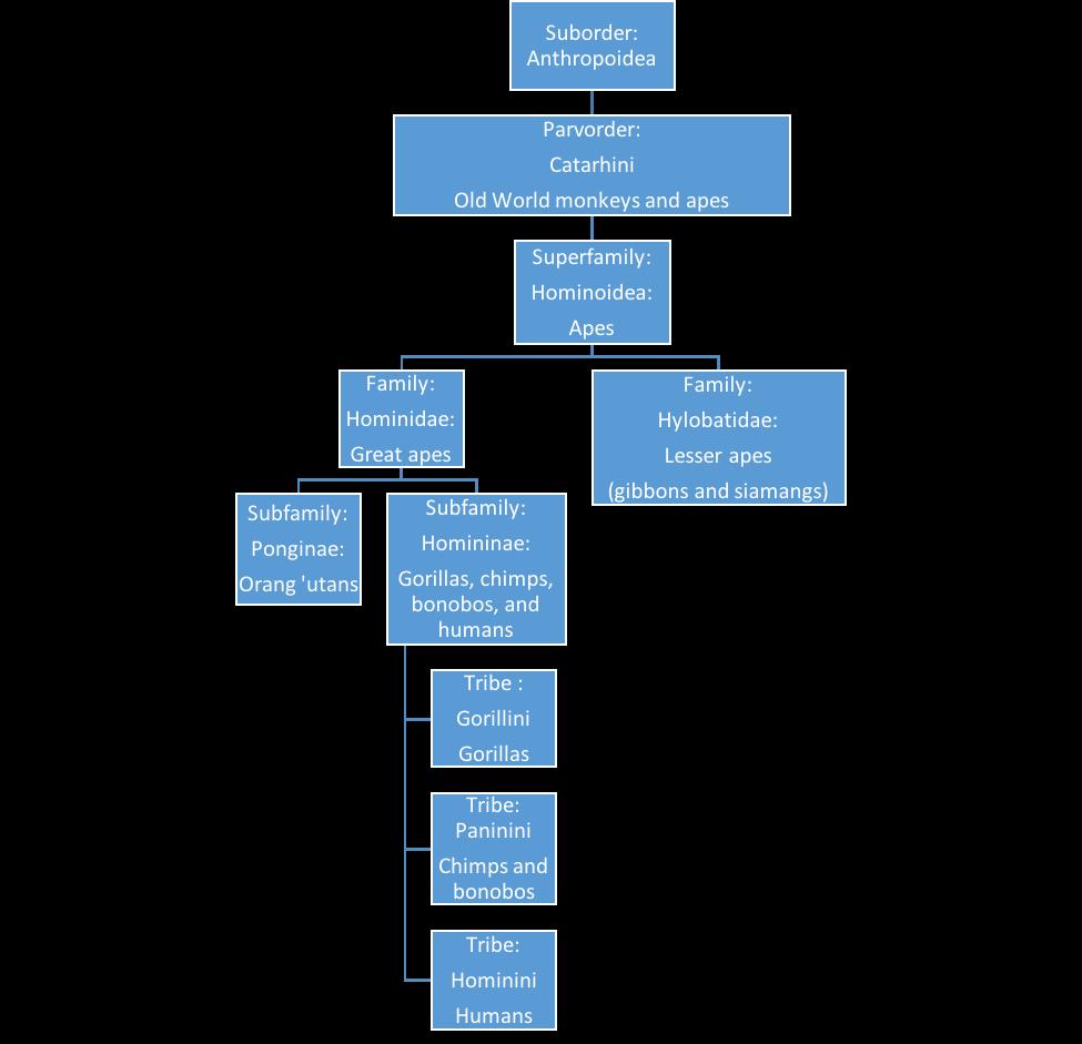 Diagram of Ape classification.