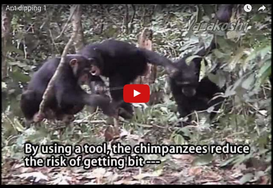 a youtube video of chimps eating ants with a stick