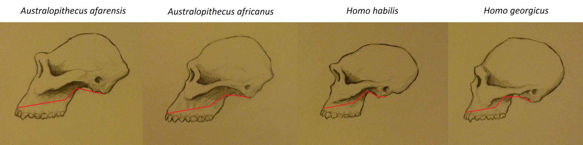 Figure 7.30 Basicranial flexion in four hominin species. Illustration by Keenan Taylor.