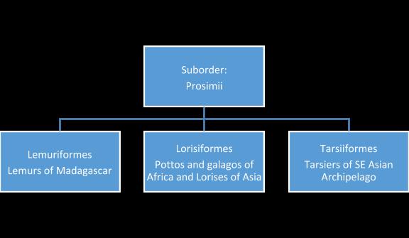 Diagram of Prosimian classification.