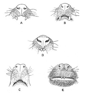 Sketches of Prosimian noses and the nose of a New World money