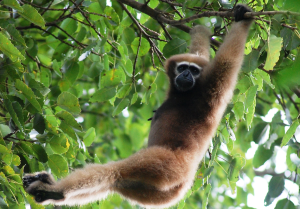Photograph of Gibbon of Southeast Asia