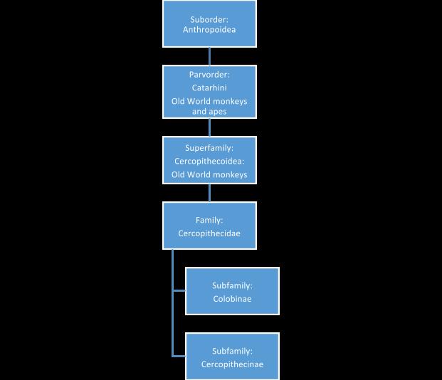 Diagram of OldWorld monkey classification.